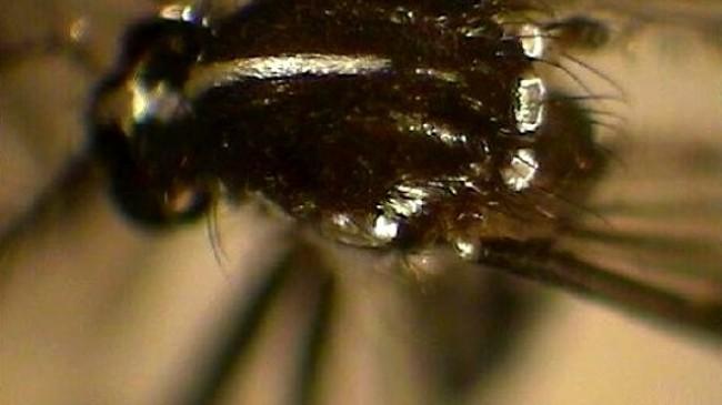 Beykoz'u Tehdit Eden Asya Kaplan Sivrisineği Tehlikesi
