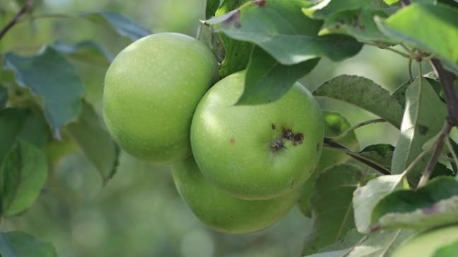 Beykoz Elmasında Yüzler Gülüyor